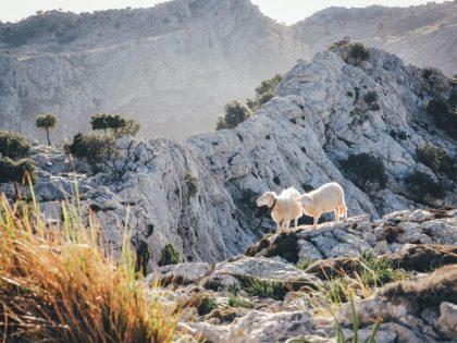 Geitenkaas – een rijkdom sinds de jagers en boeren